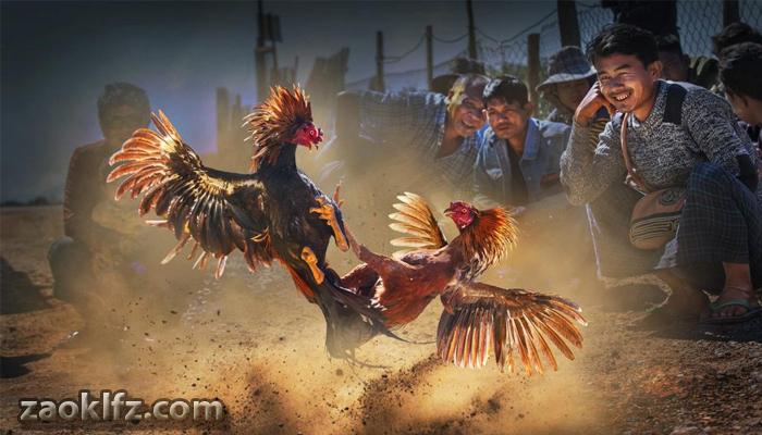 sabung ayam 2